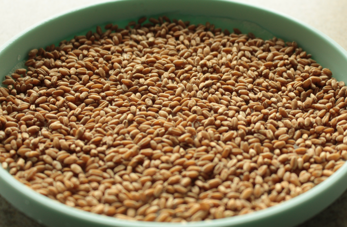 Photo: Wheat kernels on plate is the beginning of how to grow your own Easter basket filler.