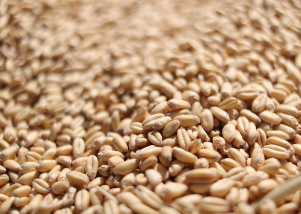 Wheat kernels in a pile.
