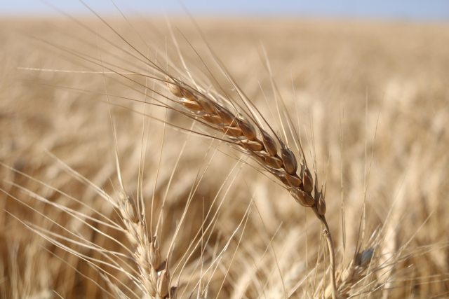Photo: Wheat head ready to harvest.