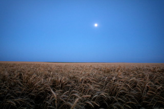 Photo: Mature wheat at night with moon.