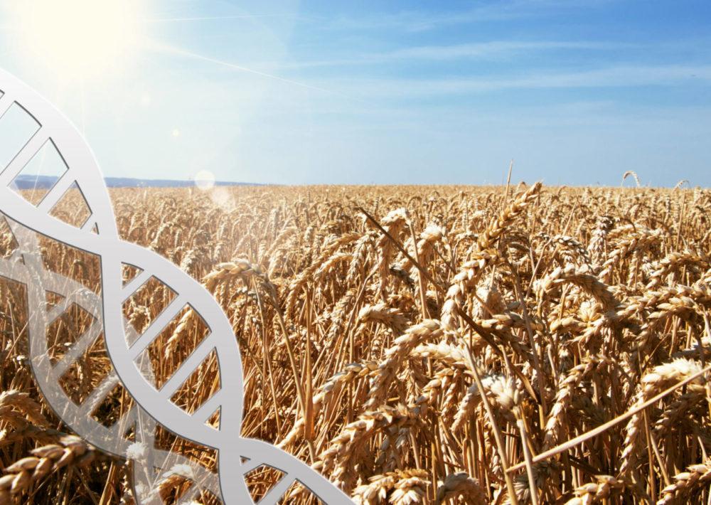 IMAGE: Gene Editing in Wheat CRISPR-CAS9. What is gene editing?